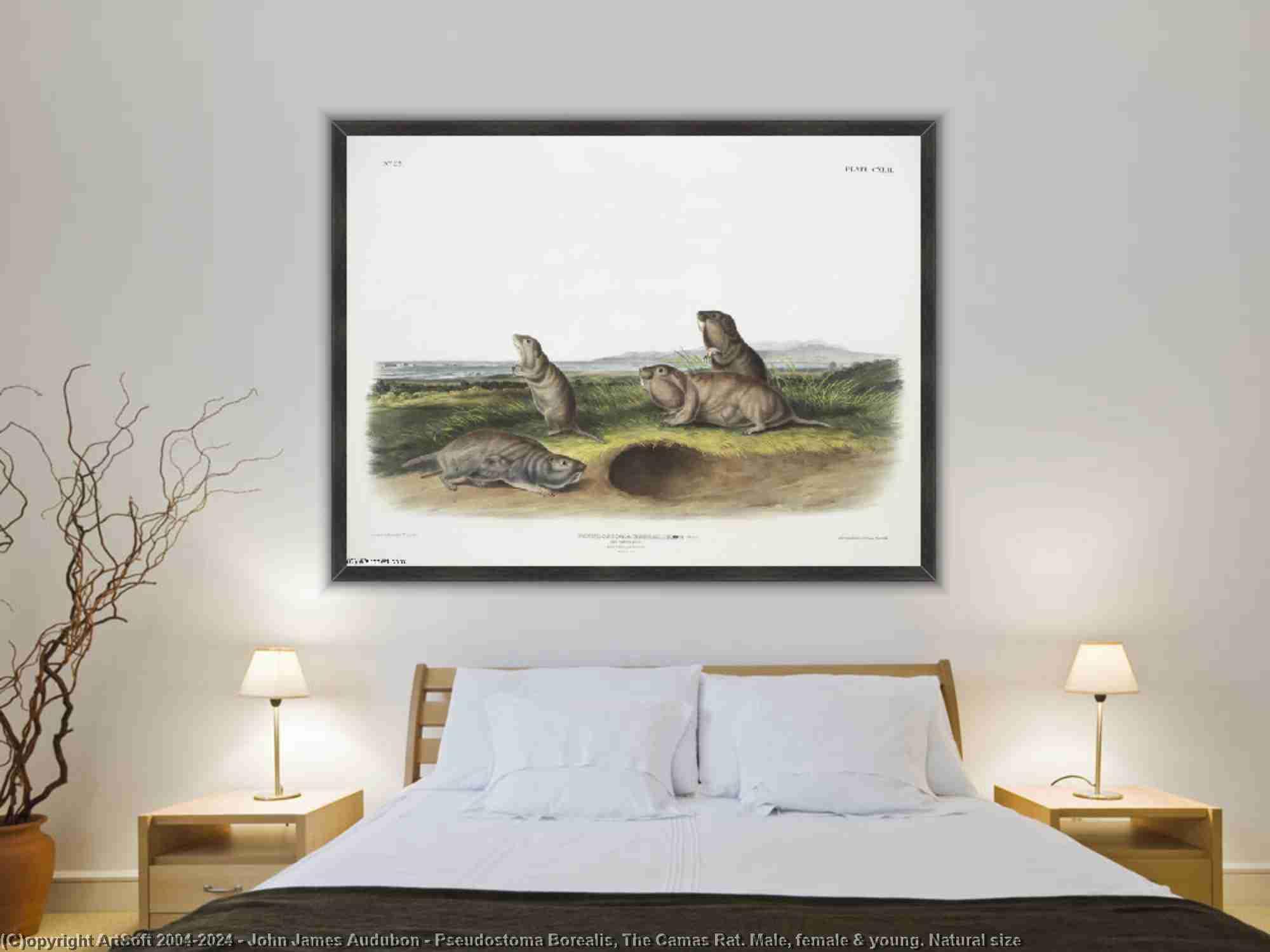 John James Audubon - pseudostoma borealis , la camas rat . Maschile , femmina - giovani . Grandezza naturale