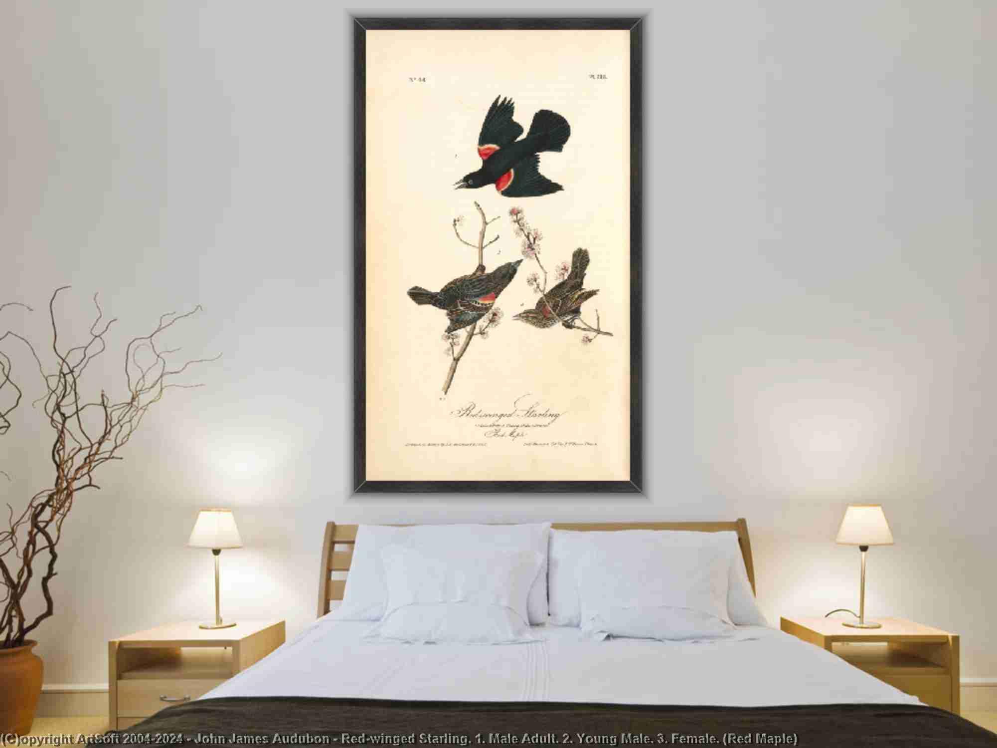 John James Audubon - Red-winged Скворец . 1 . мужской взрослых . 2 . молодые мужчины . 3 . Женщина . ( красный клен )