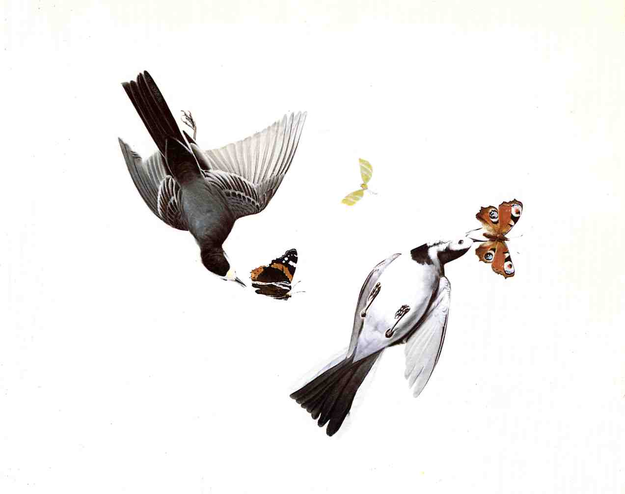 John James Audubon Wallpaper Hd Black