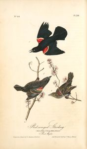 John James Audubon - Red-winged Starling. 1. Male Adult. 2. Young Male. 3. Female. (Red Maple)